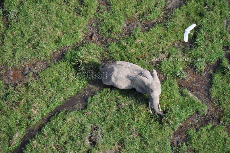 Elefante-Amboseli Kenia
